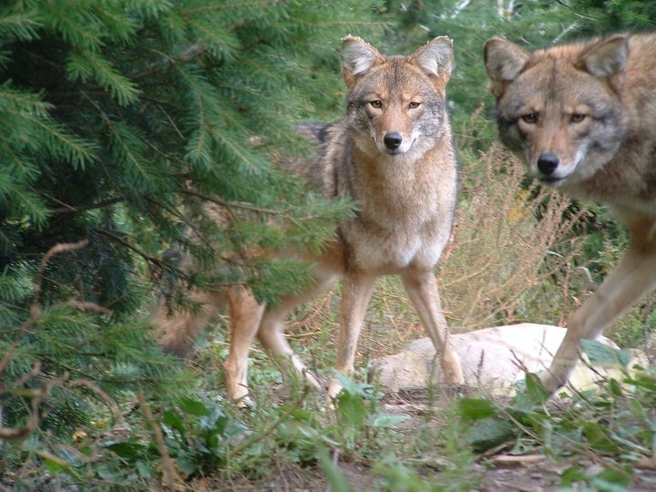 Eastern coyotes