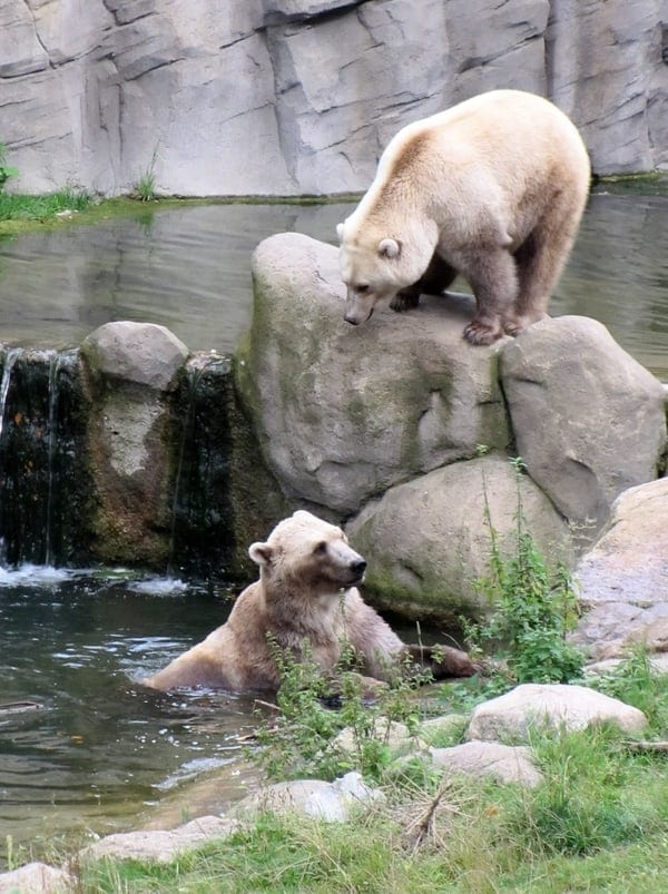 Tips and taps hybrid bears zoo