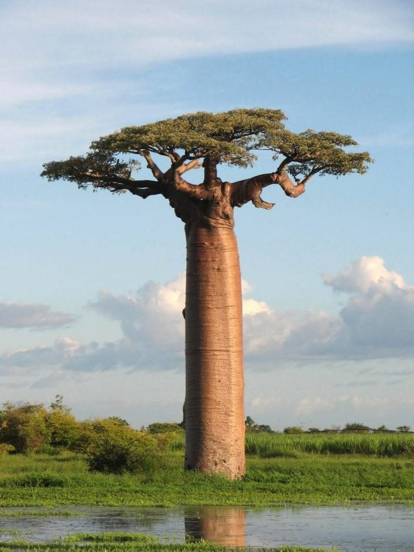 a giant tree that looks funny
