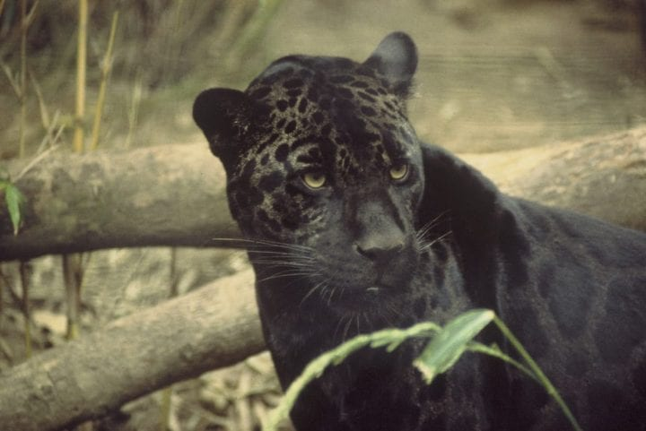 a black jaguar with spots