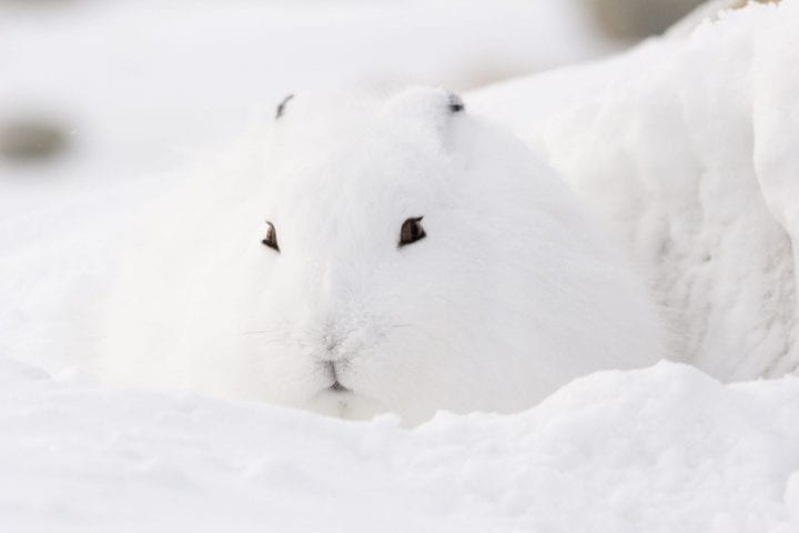 arctic hare looking cute