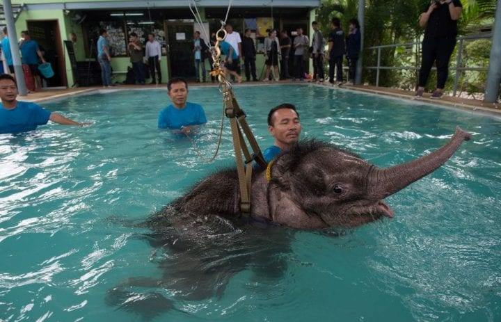 Six month-old baby elephant 'Clear Sky' is kept afloat by a harness during a hydrotherapy session at a local veterinary clinic in Chonburi Province on January 5, 2017. - After losing part of her left foot in a snare in Thailand, baby elephant 'Clear Sky' is now learning to walk again -- in water. The six-month-old is the first elephant to receive hydrotherapy at an animal hospital in Chonburi province, a few hours from Bangkok. The goal is to strengthen the withered muscles in her front leg, which was wounded three months ago in an animal trap laid by villagers to protect their crops. (Photo by ROBERTO SCHMIDT / AFP) (Photo credit should read ROBERTO SCHMIDT/AFP/Getty Images)