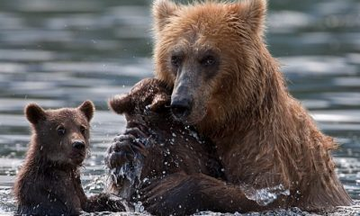 mother bear