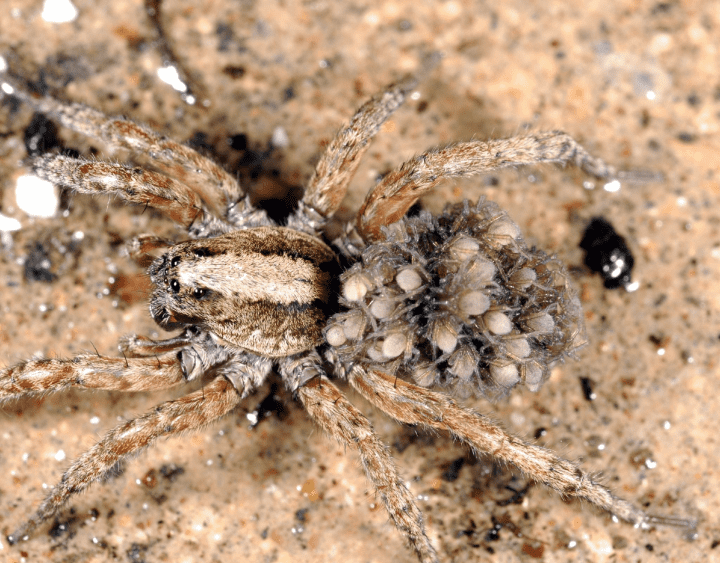baby spiders on the back of a tarantula