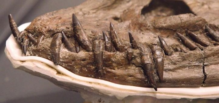 fossil skeleton with teeth jutting from skull