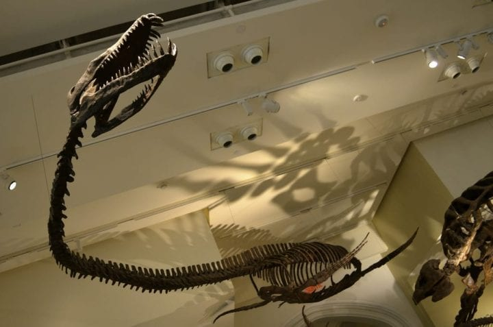fossil hung up in museum