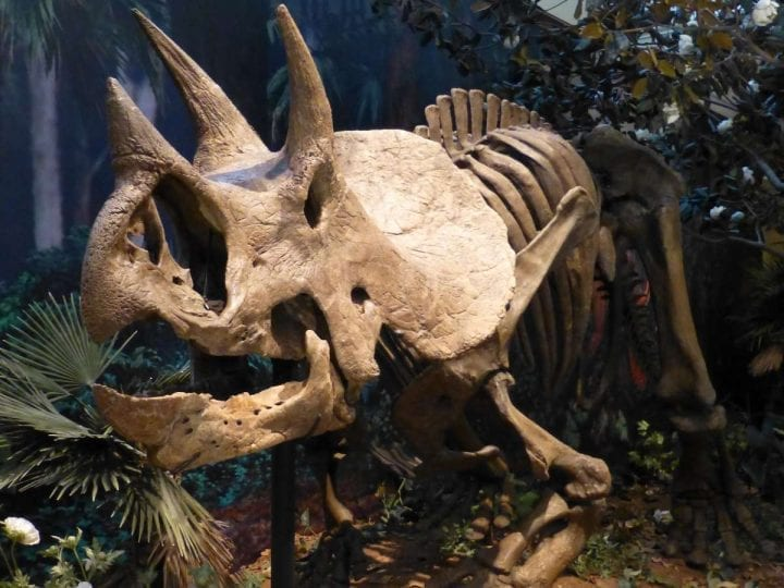 triceratops fossil in faux jungle