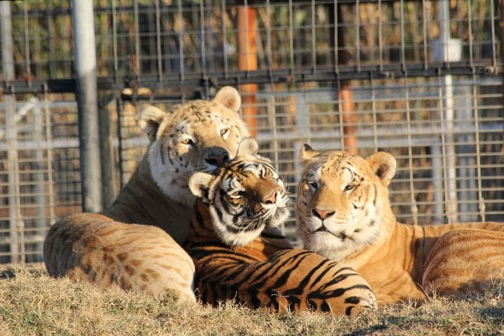 tigons and tigers in a zoo