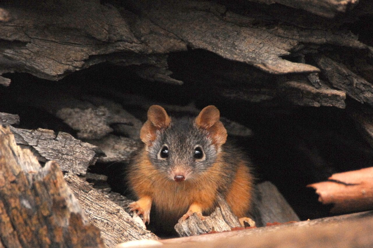 Antechinus animal cute dark side