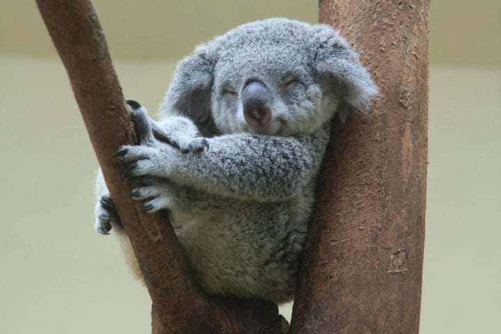 Sleeping koala adorable dark side