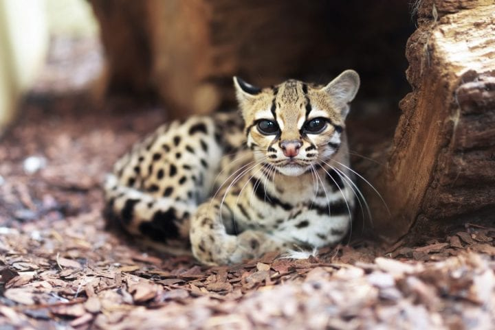Margay cat cute dark truth