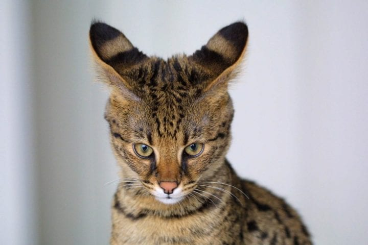 a cat with some big ears eyeballing you something tough