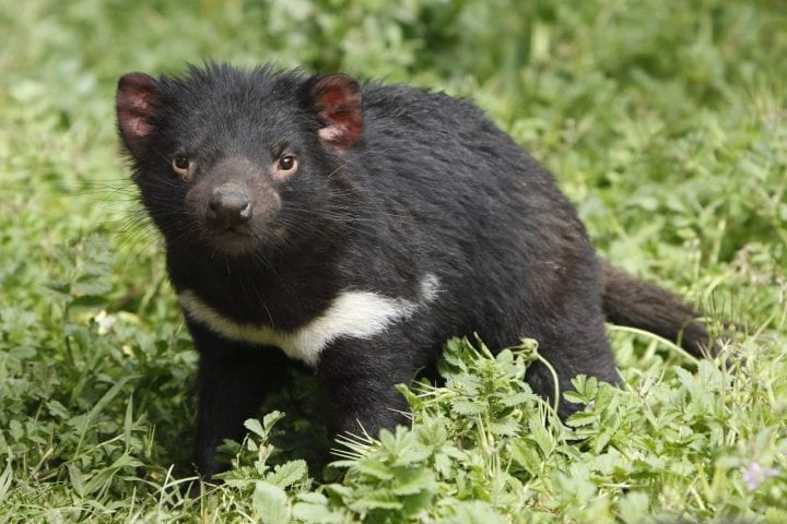 Tasmanian devil cute animal dark truth