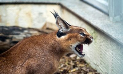 A desert lynx showing its teeth angrily