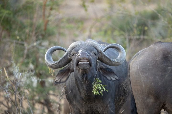 The flehman grimace of a buffalo bull as he tests the urine of a cow to check her stage in her oestrus cycle.