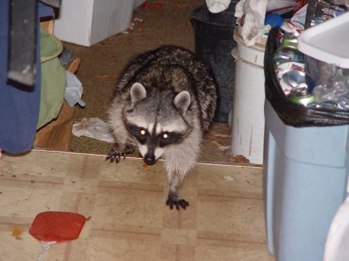 racoon in someone's house