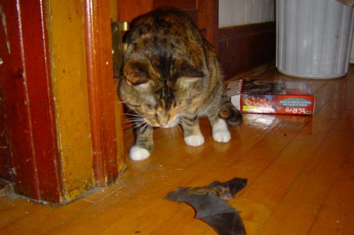 cat catches bat red handed