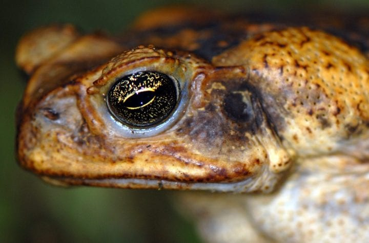 a cane toad that looks gross