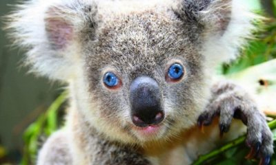 koala that looks intense with blue eyes