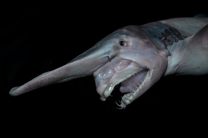 ugly looking shark with rather large nose