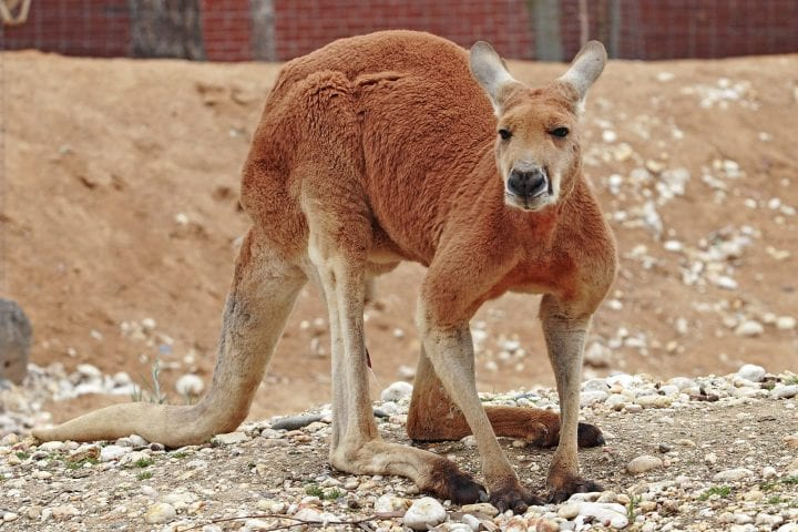 kangaroo that looks extremely and unnecessarily aggressive