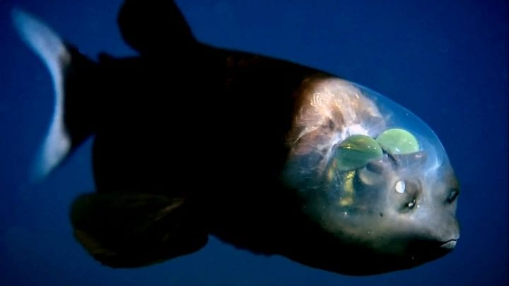 fish with translucent eyeballs at the top of its head