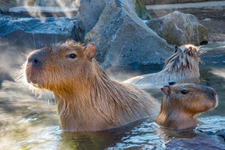 Capybaras in the water