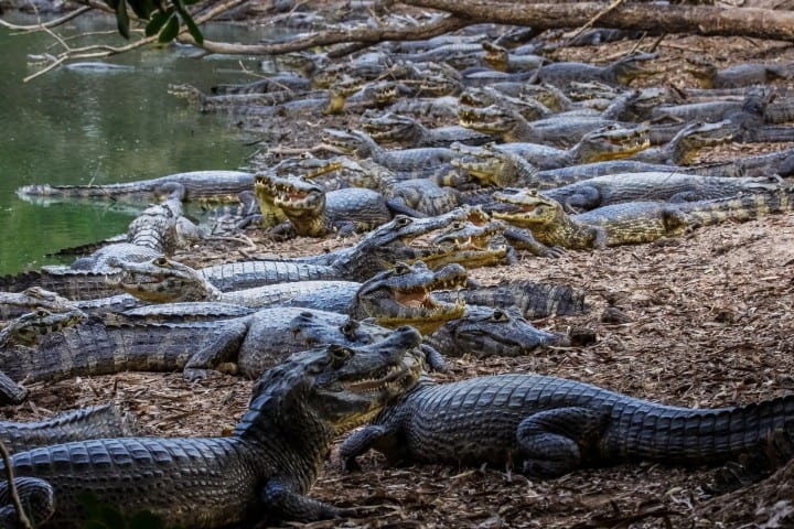 A bunch of black caiman