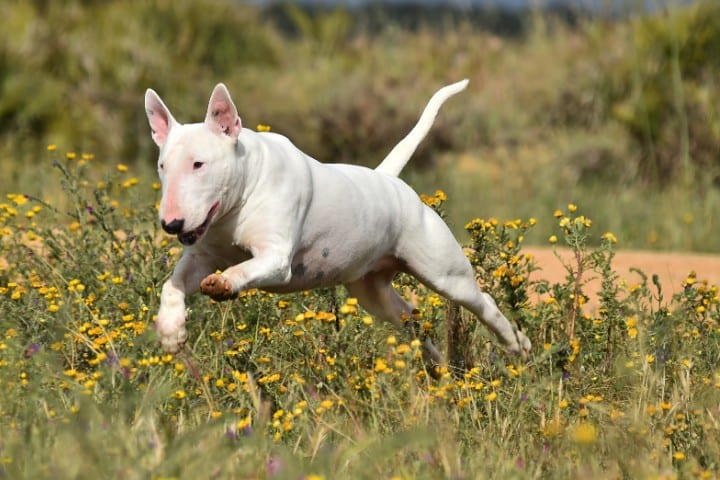 A Bull Terrier in the flowers