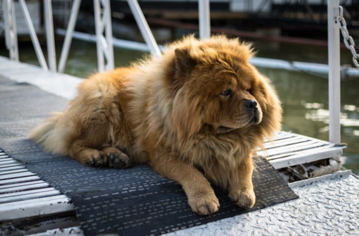 A Chow Chow lounging