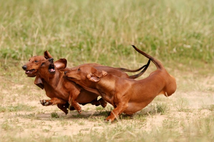 A few Dachshunds playing in a field