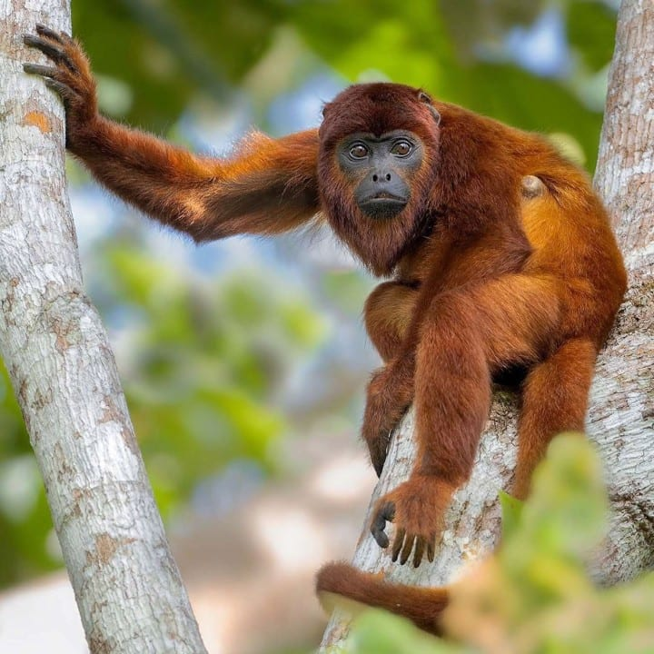 Red howler monkey in a tree
