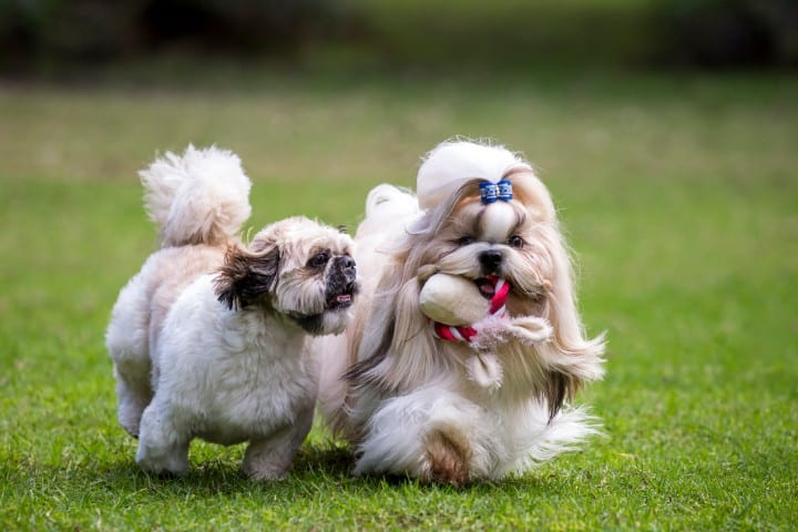 Two Shih Tzus playing in the grass