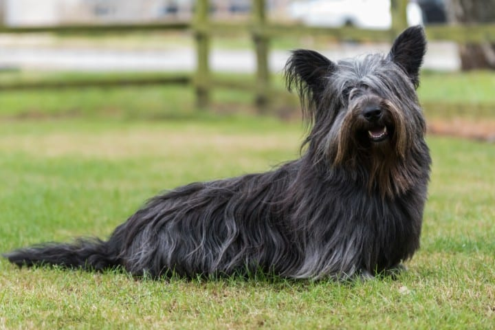 A Skye Terrier sitting in the grass