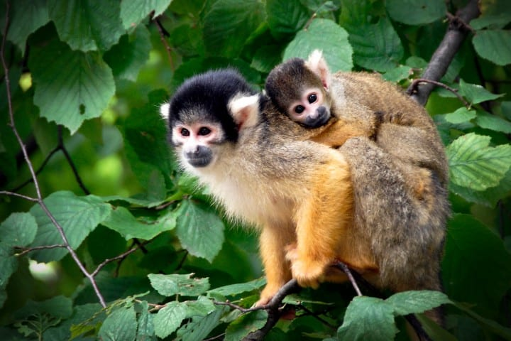 A couple of squirrel monkeys