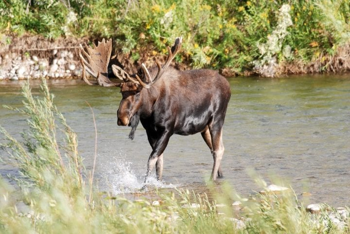 Large Bull Moose splashing water as it crosses the Gros Ventre River in Grand Teton National Park, Wyoming.