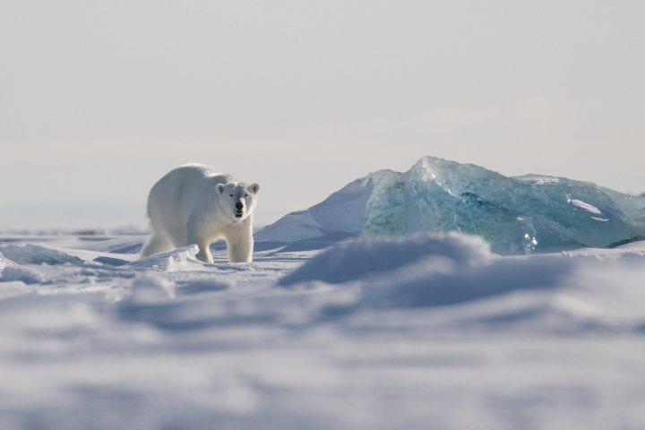 A beautiful female polar bear is walking on the sea ice on the east coast of Svalbard.