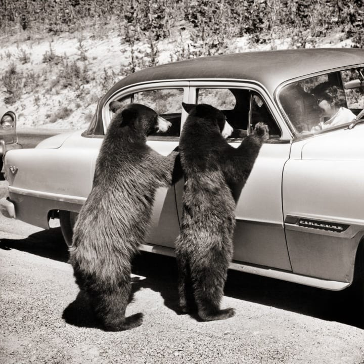 STANDING LOOKING IN WINDOWS OF CAR YELLOWSTONE NATIONAL PARK WYOMING USA