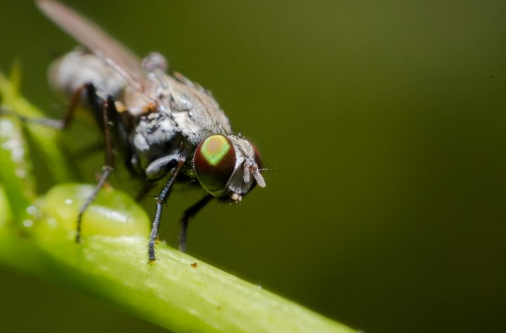Close up of Housefly on a leaf
