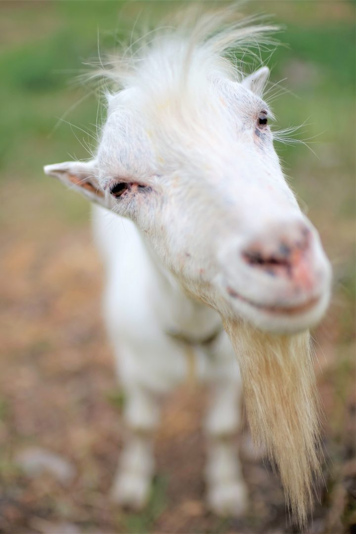 White goat stands in nature in the summer, muzzle close-up