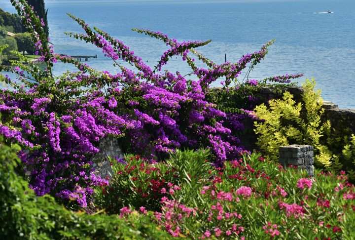 Bouganvillea and Oleander blooms in Gargnano, Lake Garda, Lombardy, Italy.