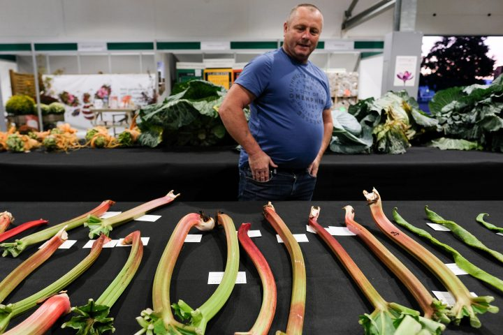 HARROGATE, ENGLAND - SEPTEMBER 13: A man looks at a display of rhubarb during judging for the giant vegetable competition at the Harrogate Autumn Flower Show on September 13, 2019 in Harrogate, England. The UK's premier Autumn gardening show is taking place at the Great Yorkshire Showground this weekend with up to 40,000 visitors expected to attend the 3-day event. The centre piece for the show will be the 'Back to the Future' floral display that aims to capture the essence of Newby Hall and Gardens which will become the new home of the Autumn Flower Show in 2020. Harrogate Flower Shows are organised twice a year by the North of England Horticultural Society, a leading gardening charity set up in 1911 to promote horticulture across the north. The 2019 event will be the 44th Autumn show, which was originally held in the town's Valley Gardens, before moving to the Exhibition Halls in 1983 and the Great Yorkshire Showground in 1995 (Photo by Ian Forsyth/Getty Images)
