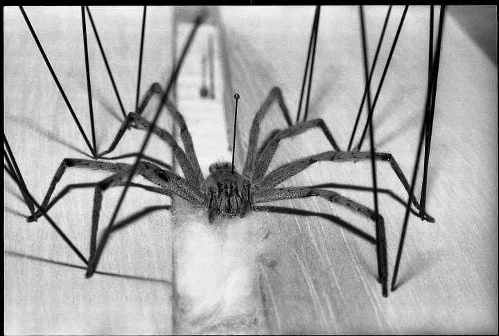 Poisonous Brazilian wandering spider 1975 (Photo by Blick/RDB/ullstein bild via Getty Images)