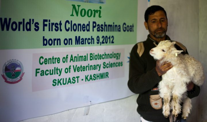 SRINAGAR, KASHMIR, INDIA - APRIL 28: Noori, the world's first cloned Pashmina kid goat is held by a staff membe at the Veterinary Sciences and Animal Husbandry department of Sher-e-Kashmir University of Agricultural Sciences and Technology (SKUAST), during world veterinary day on April 28, 2012 in Shuhama, 25 km (16 miles) east of Srinagar, the summer capital of Indian administered Kashmir, India. Scientists in Indian administered Kashmir celebrated World Veterinary Day with the recently produced world's first clone of a Pashmina yielding goat named Noori. (Photo by Yawar Nazir/Getty Images)