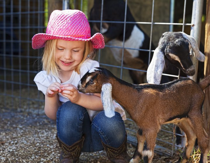 A little girl plays with a newborn nubian goat.