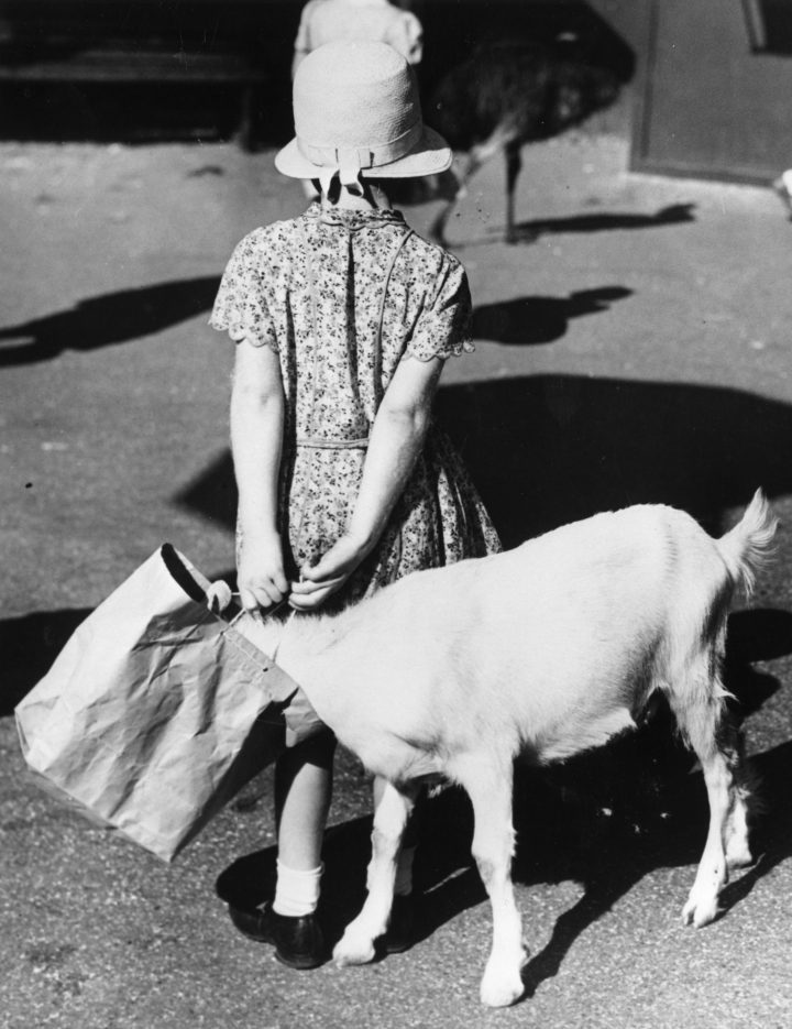15th September 1938: A little goat takes the chance to rummage through an unwary young visitor's carrier bag in Pet's Corner, London Zoo. (Photo by William Vanderson/Fox Photos/Getty Images)