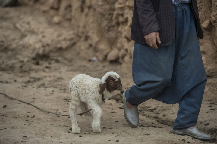 SANLIURFA, TURKEY - APRIL 08: A baby goat is walks next to man in Harran district of Sanlurfa, Turkey on April 08, 2016. Harran is oldest settlements situated the world locations and after restoration work tourists are visit a clay house. Harran was the capital of Assyria states and Omayyads states. (Photo by Kerem Kocalar/Anadolu Agency/Getty Images)