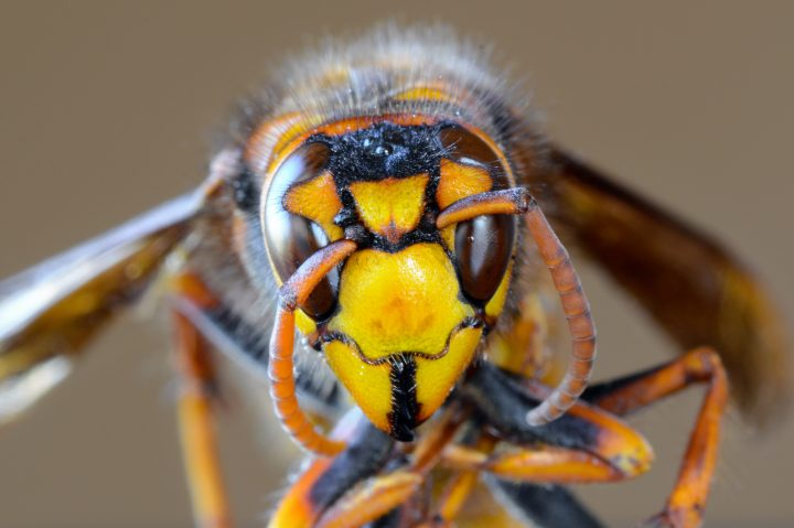Very close macro of the yellow face of a Japanese giant hornet.