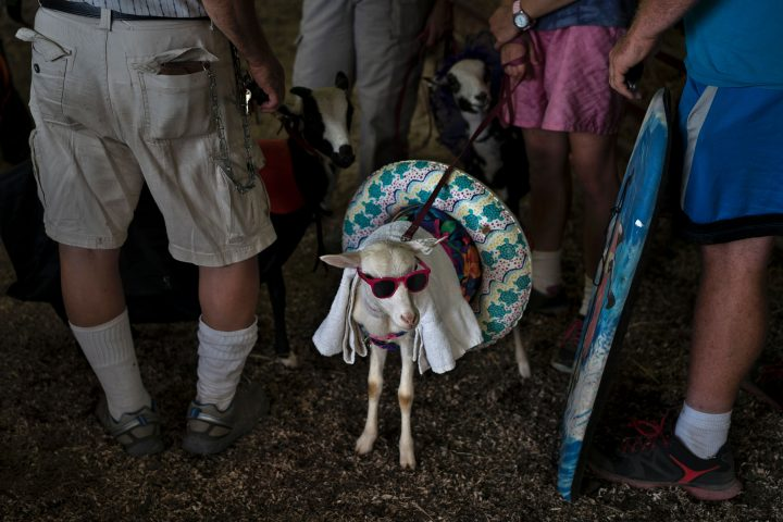 """TOPSHOT - People wait to compete in """"the prettiest animal"""" contest during the Shenandoah County Fair September 2, 2016 in Woodstock, Virginia. / AFP PHOTO / Brendan Smialowski (Photo credit should read BRENDAN SMIALOWSKI/AFP/Getty Images)"""