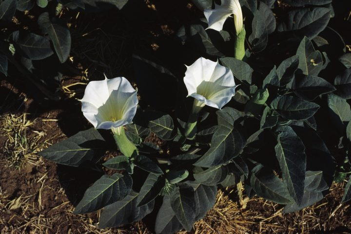 Jimsonweed or Devil's snare (Datura stramonium), Solanaceae. (Photo by DeAgostini/Getty Images)